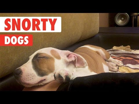 Serious Snorers | Snorty Dog Video Compilation 2017