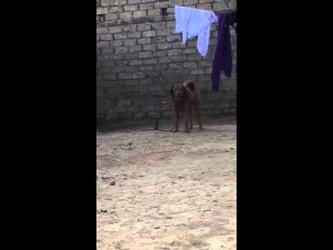 Bakarwal dog Watala