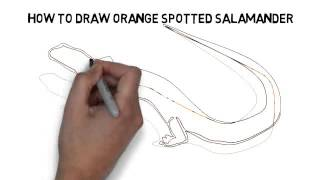 How To Draw Orange Spotted Salamander Quickly And Easily
