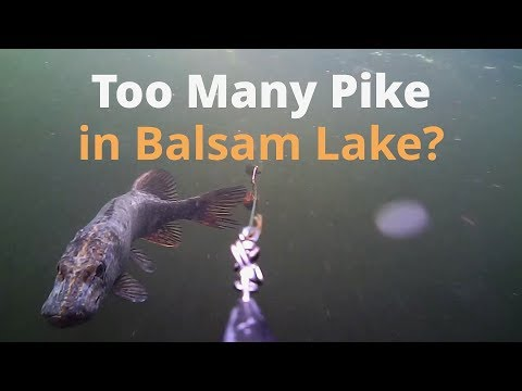Too Many Pike In Balsam Lake - All Underwater