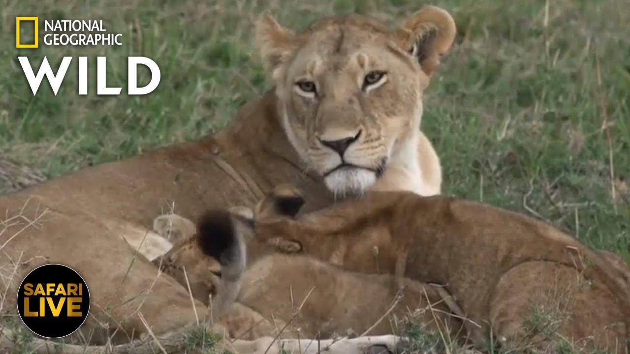 Safari Live - Day 274 | Nat Geo Wild
