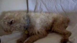 Puppy Mill Schnauzer Rescued!