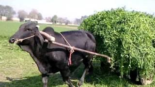 152 Adeel Ahmed dairy farm@depalpur,pakistan
