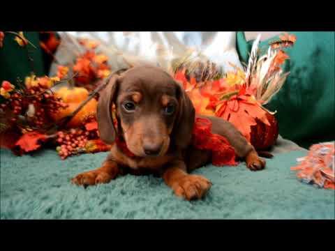 Spud Male Chocolate Tan SH Miniature Dachshund Puppy for sale.