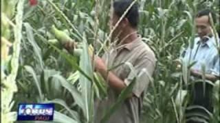 jimmyhantu Ratu Biogen Panen Jagung Manis Indosiar