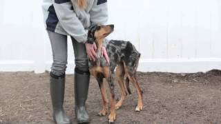 Bailey The Young Female Cattle Dog/great Dane Mix