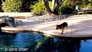 German Shepherd: Kali (8 mths)  vs The Pool Barrier