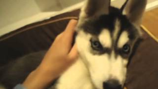 Siberian Husky Mika- Early Years!