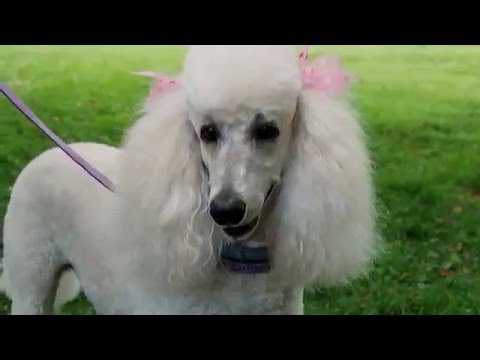 beautiful pictures Poodle breed dogs