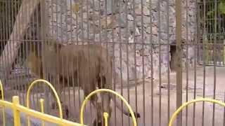 Лев и львица.(В этом видео вы увидите жизнь льва и львицы в зоопарке. Приятного просмотра!, 2014-09-01T10:24:34.000Z)