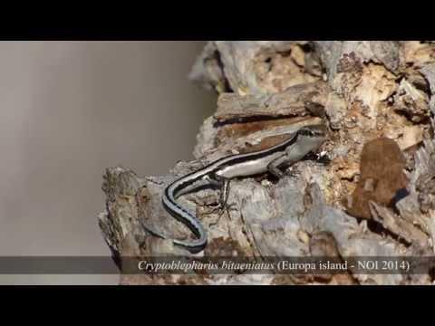 Cryptoblepharus bitaeniatus Europa island (Canal du Mozambique - îles Eparses - TAAF)