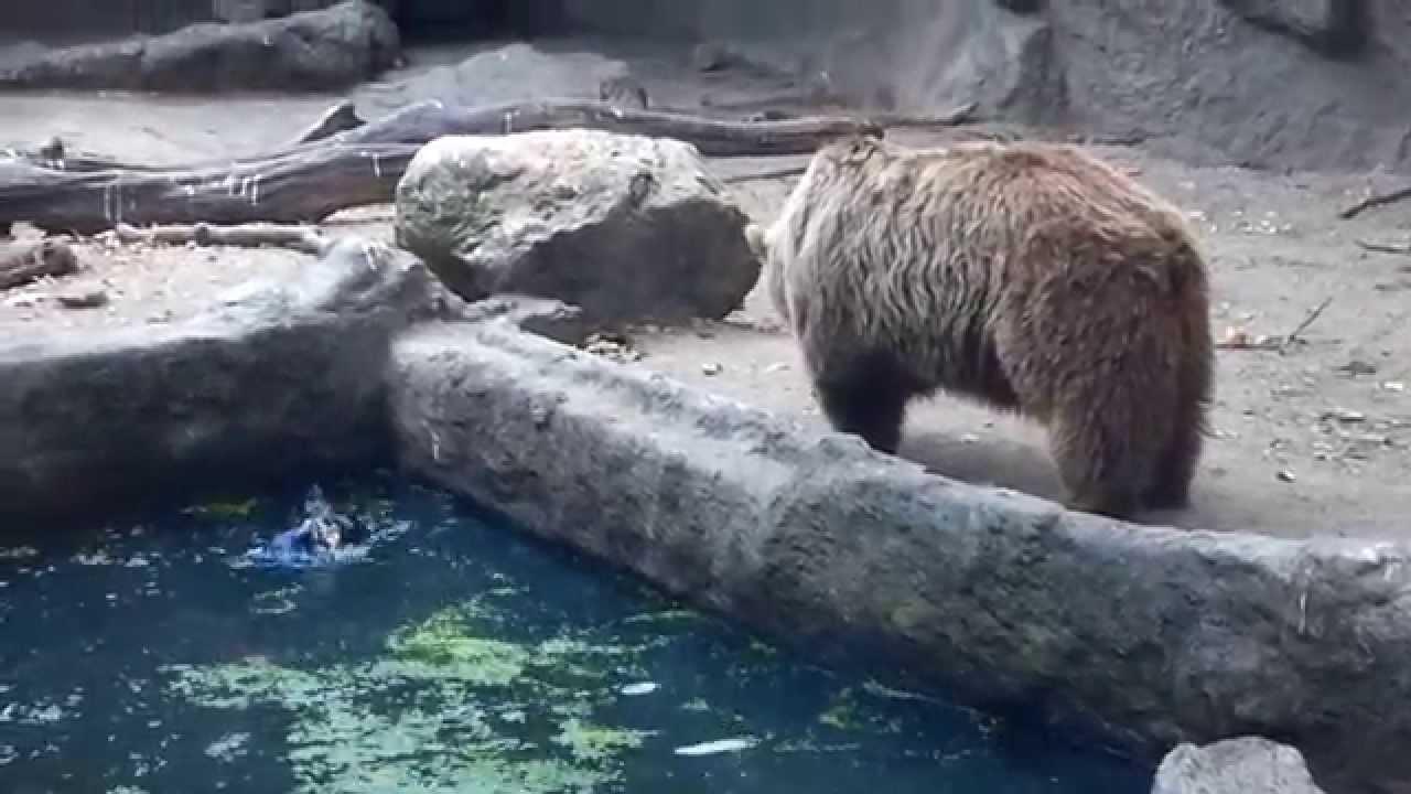 Un ours sauve un corbeau de la noyade