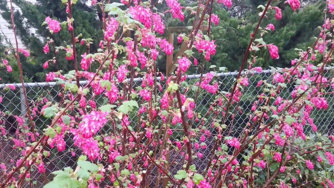 Red flowering currant ribes sanguineum youtube red flowering currant ribes sanguineum mightylinksfo