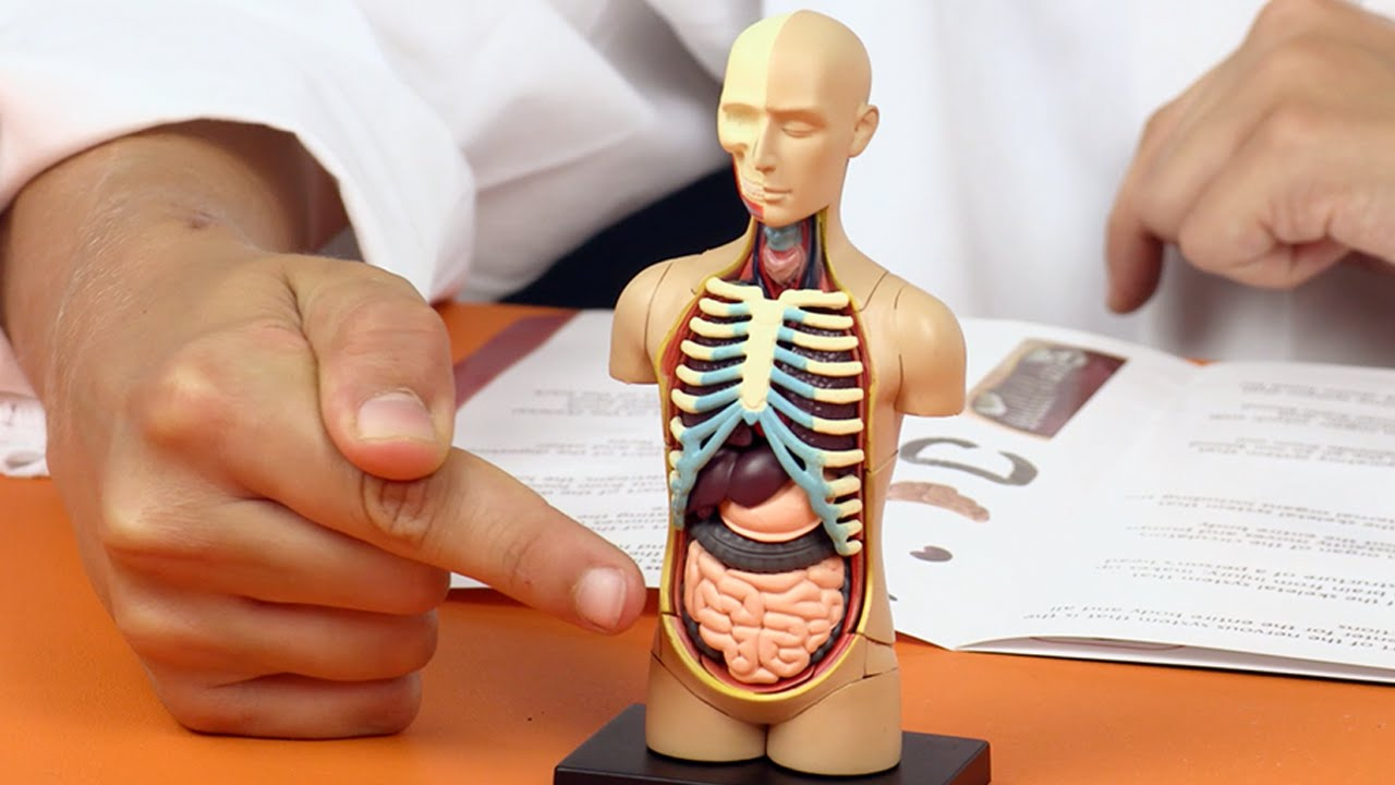Human Body Anatomy Model - Learn Your Organs ⚗⚠ Fun Science for ...