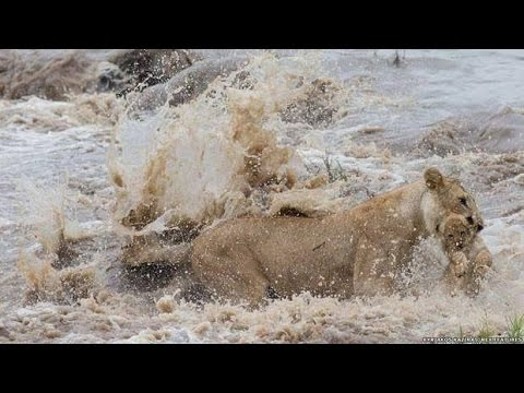 lioness saves his cub