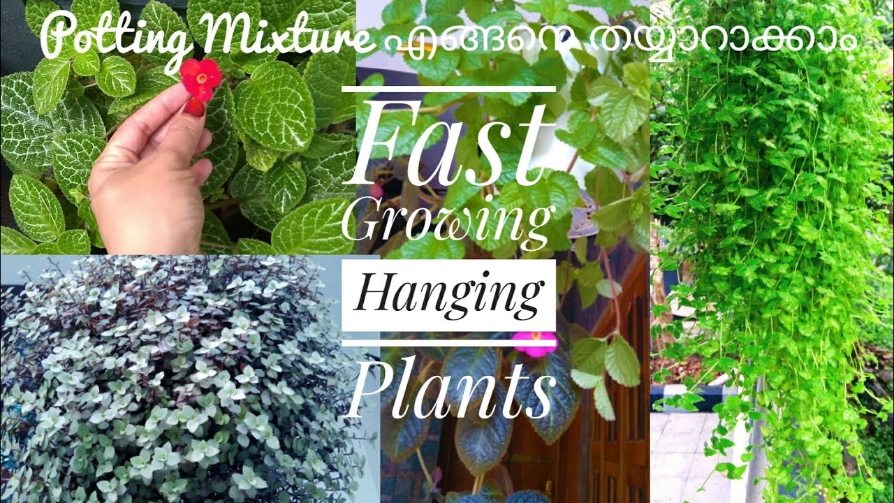 Fast Growing Hanging Plants /Beautiful Cascading plants in malayalam/My Hanging Plants-Bottle Wottle