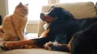Bernese Mountain Dog ♥Orange Tabby Cat