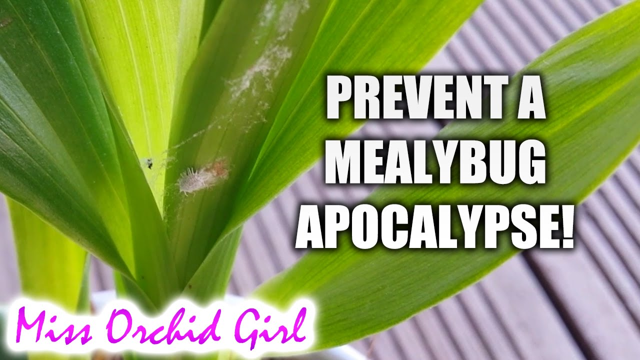 Mealybug: how to fight. Mealybug on orchid: how to get rid 15