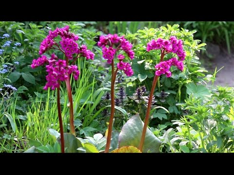 Посадка пиона весной Цветы в саду