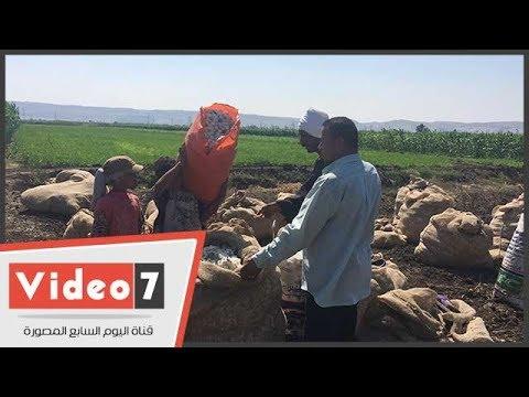 -نورت يا قطن الصعيد-.. حصاد الذهب الأبيض فى أسيوط  - 19:21-2017 / 8 / 18