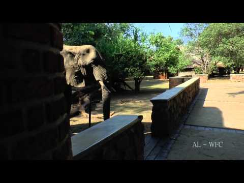 Elephants visiting Mfuwe Lodge
