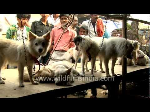 Dogs for sale in Bihar, India