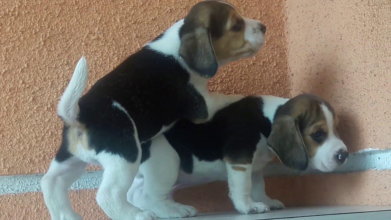 Beagle Dog Price In Pune