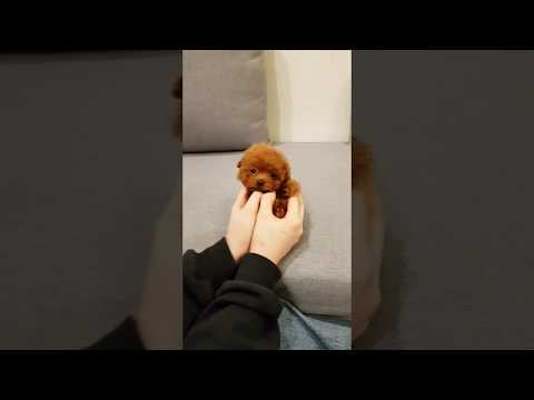 Micro teacup red poodle puppy for sale - Teacup puppies KimsKennelUS