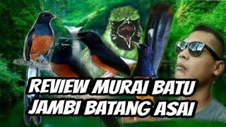 REVIEW BURUNG MURAY BATU JAMBI BATANG ASAI