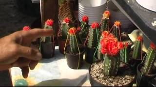 kaktusz amely pikkelysömör gyógyítja