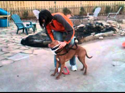 Pit bull harness for weight pulling youtube sciox Images