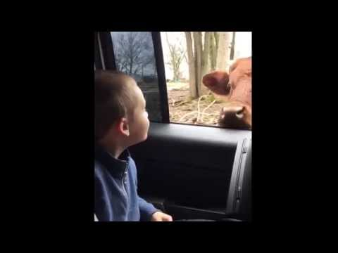 Cow Doesn't Understand Personal Space