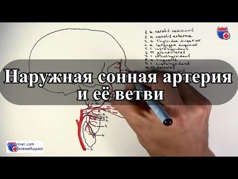 Наружная сонная артерия