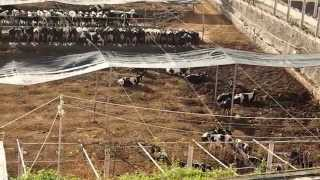 Cow Farm for Milk in Gran Canaria