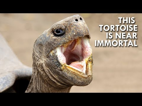 Tortoises: The Oldest Living Creatures in the World