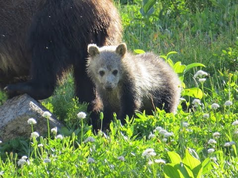 Grizzly in Glacier National Park, Highline Trail