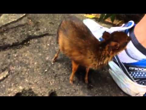 غزال أو ريم البودو، أصغر غزال في العالم
