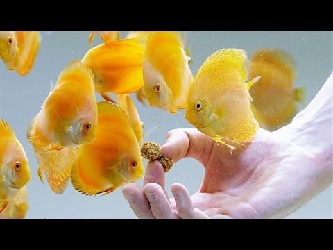Gelbe Diskusfische Bei Der Fütterung Mit Gefriergetrockneten Tubifex Und Artemia