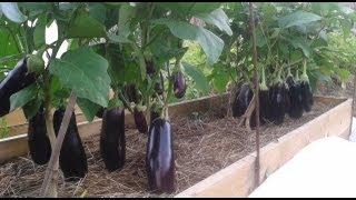 Выращивание баклажанов и перцев(Выращивание перцев и баклажанов начинается с выращивания качественной рассады, про это я говорил в предыду..., 2013-08-07T16:37:38.000Z)