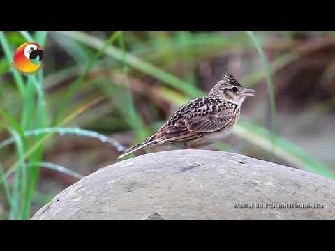 Burung Branjangan Di Alam Liar