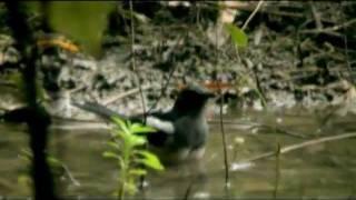 นกกางเขนบ้าน Oriental Magpie Robin