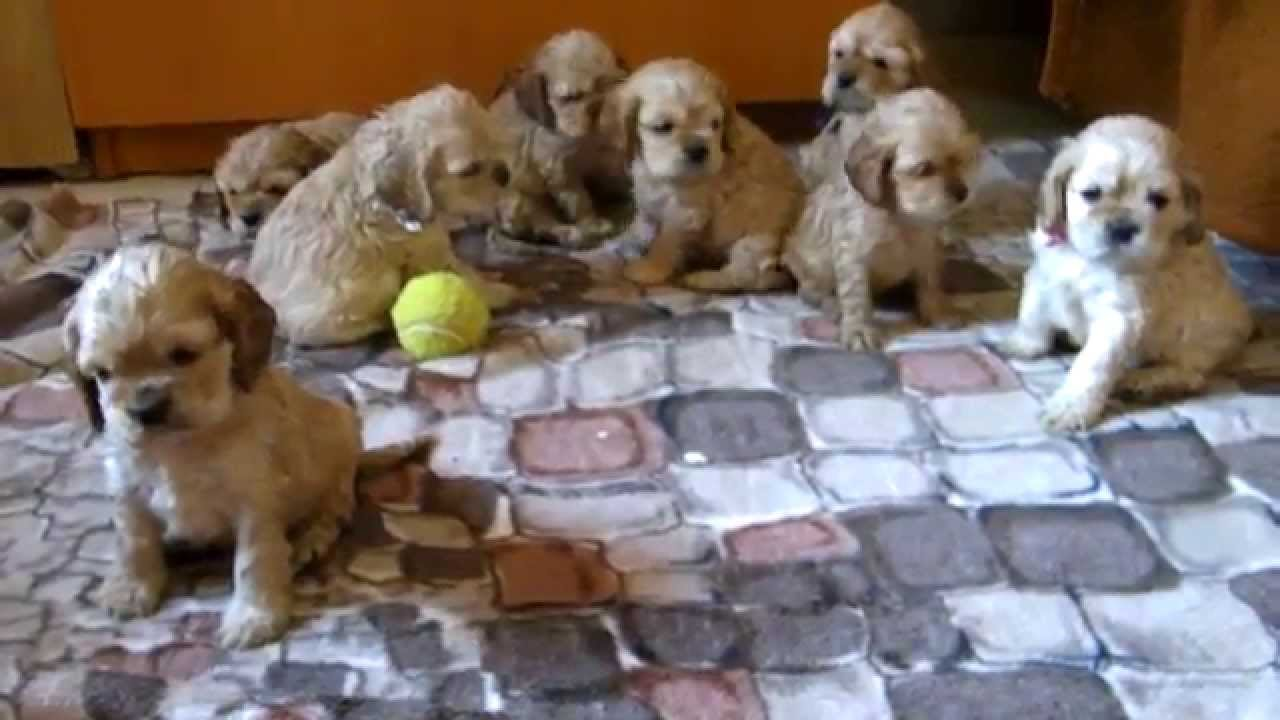 American Cocker Spaniel Puppies Youtube