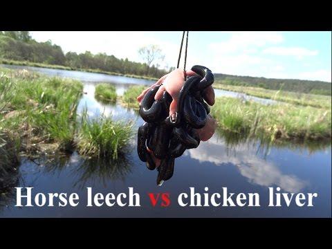 Horse leech vs chicken liver - Pijawka końska (Haemopis sanguisuga)