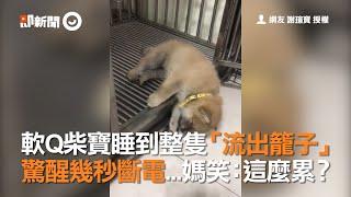 軟Q柴犬寶寶睡到整隻流出狗籠子 驚醒幾秒斷電 柴柴媽笑:這麼累?| 寵物