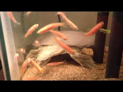Spiny Softshell Turtle Sandy Fishing