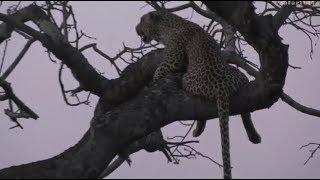 Safari Live : Shadow Female Leopard her Cub and a Hyena on a Impala kill Oct 16, 2017 thumbnail