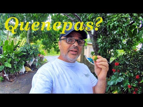 Quenepas Of Puerto Rico Are Great