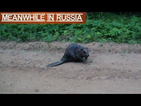 Angry Beaver Attacks Cameraman