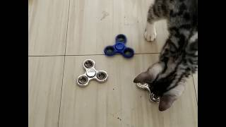 Snow Bengal Kitten Play