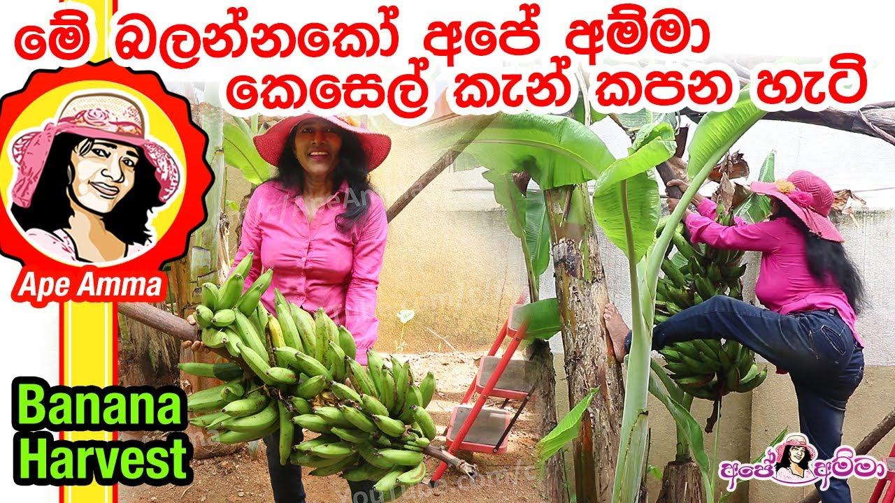 Banana Harvesting